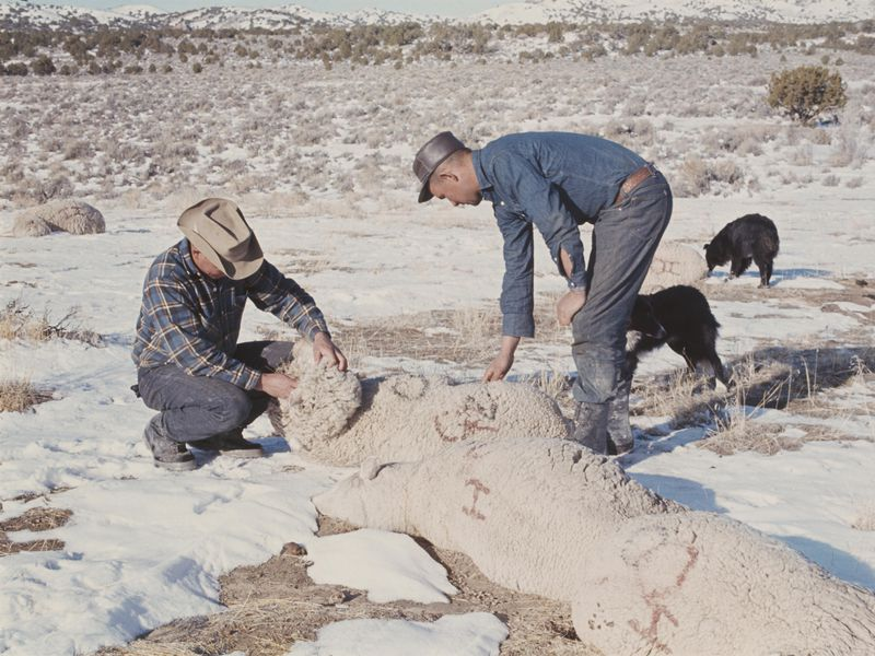 Dugway Sheep Kill