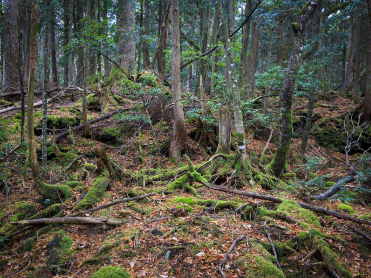 Lautan Hitam Pohon Aokigahara